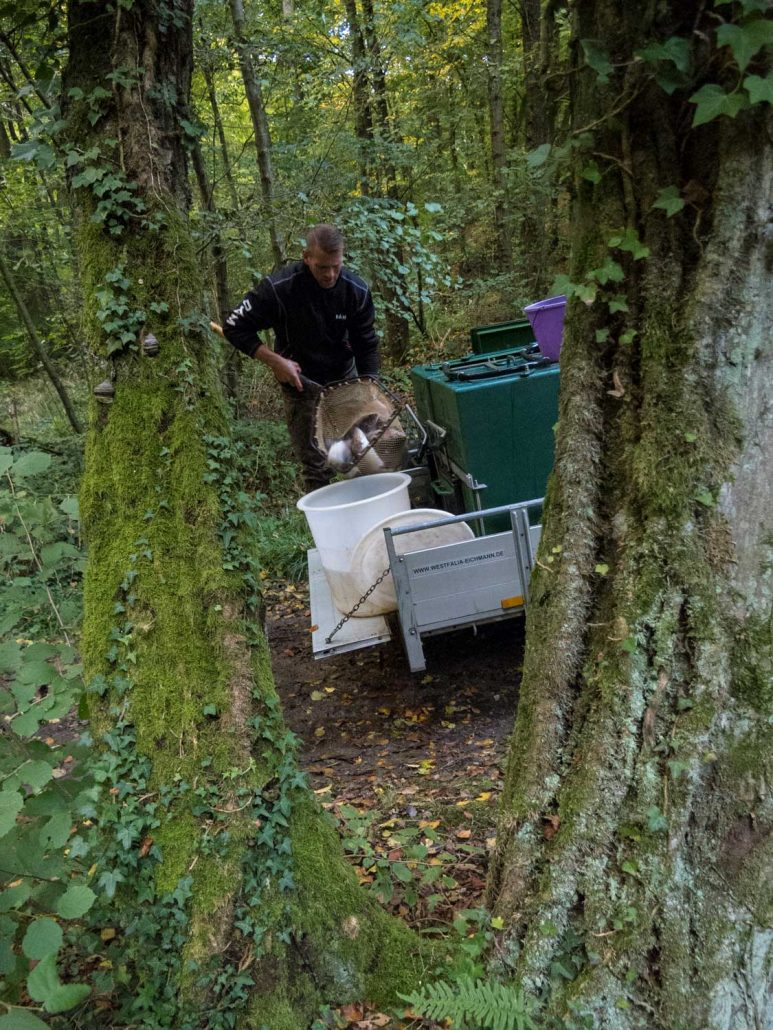 Lachsforellen kommen in den Transportbehälter